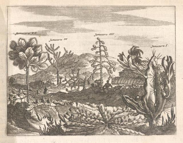 Jamacaru or the [Cactus] of Jamaica.