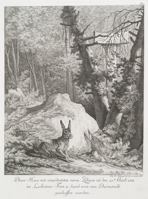 Dieser Hase mit angedeuteten raren Zähnen ist den 25ten Octobr. 1753 im Lecheimer Forst 4 Stund weit von Darmstadt geschossen worden.