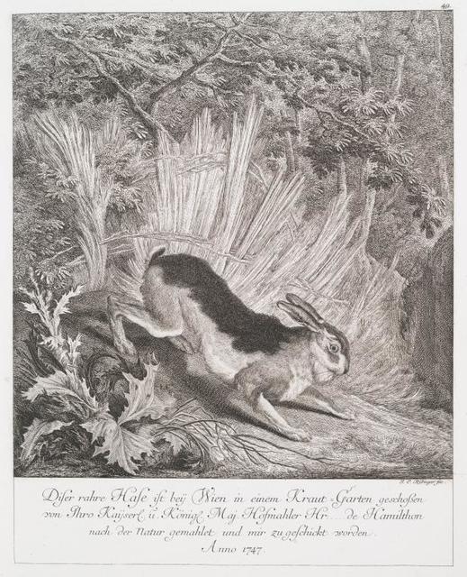 Diser rahre Hase ist bey Wien in einem Kraut-Garten geschossen von Thro Kayserl. u. Köningl. Maj. Hosmahler Hr. ...  de Hamilthon nach der Natur gemahlet und mir zu geschickt worden. Anno 1747.