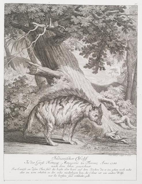 Indianischer Wolff. In der Gross Hertzogl. Menagerie zu Florenz Anno 1744 nach dem leben gezeichnet. Das Curiöse an disem Their sind die Borste odere hare auf dem Rücken die es im gehen noch mehr aber im zorn erheben in der Ruhe niederlegen kan, die Coleur ist wie andere Wölfe nur die Borsten sind röthlicht-gelb.