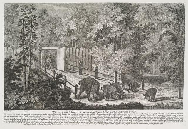 Wie die wilde Sauen in einem angeleten Sau garten gefangen werden.