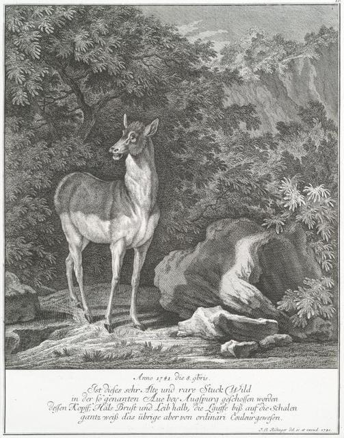 Anno 1741 die 8 9 bris. Ist dieses sehr Alte und rare Stuck Wild in der so genanten Aue bey Auspurg geschossen worden dessen Kopff, Hals Brust und Leib halb, die Läuffe biss auf die Schalen gantz weiss das übrige aber von ordinari couleur gewesen.