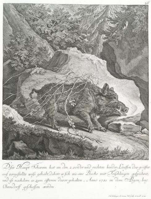Dises Haupt Schwein hat an den 2 vorder und rechten hinder-Läuffen daas geäfftereauf vorgestellte weise gehabt, dahero es sich wie eine Bache mit Frischlingen gespühret, und ist nachdem es zum öffteren davor gehalten, Anno 1731 in dem Algeu: bey Oberndorff geschossen worden.
