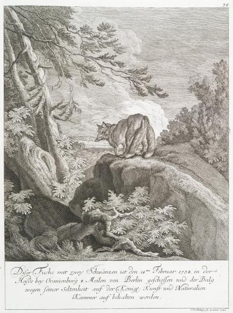 Diser Fuschs mit zwey Schwänzen ist den 14ten Februar. 1734 in der Heyde bey Oranienburg 4 Meilen von Berlin geschossen und der Balg wegen seiner Seltenheit auf der Königl. Kunst und Naturalien Kammer auf behalten worden.