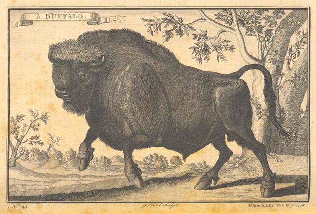 A buffalo.