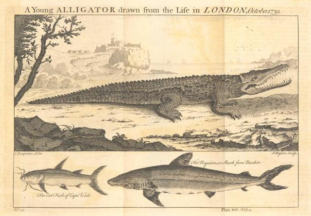 A young alligator; The cat fish of Cape Verde; The requien or shark.