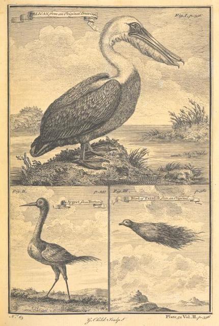 Birds and fowl; Pelican; Aygert; Bird of Paradise.