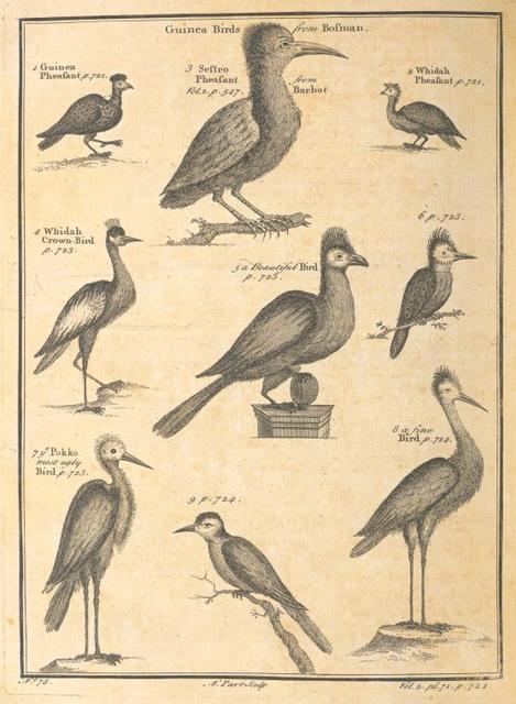 Guinea birds.