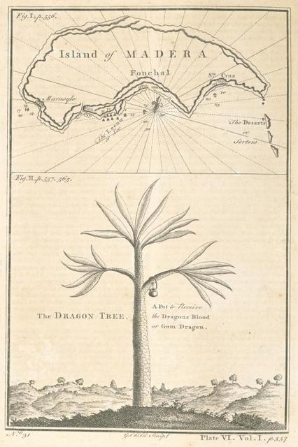 Island of Madera; The dragon tree.