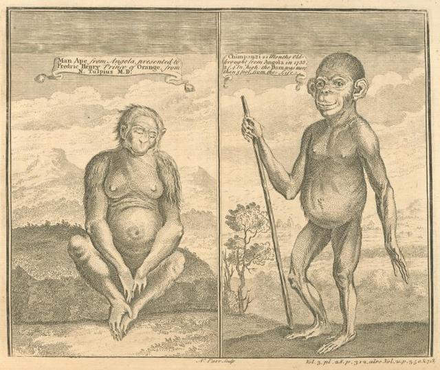 Man - ape from Angola ; Chimpanzi from Angola.