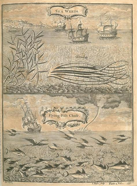 Sea weeds; Sargasso; Trombas; flying fish chase.