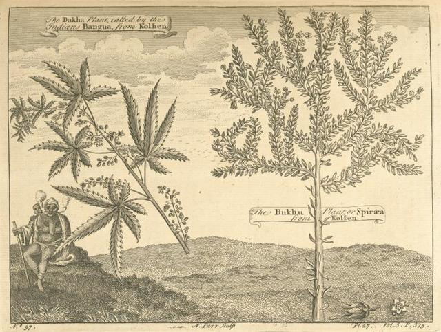 The Dakha plant, called, by the Indians, Bangua. ; The Bukhu plant, or Spirea.