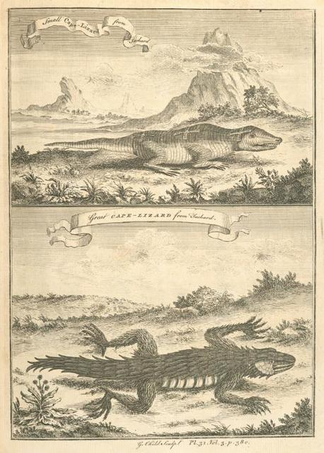 The great Cape lizard, and the small Cape lizard.