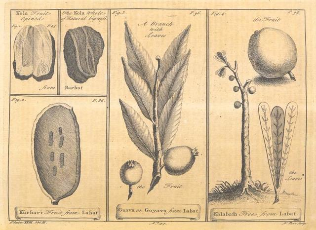 [The Kola fruit; The Kûrbari fruit; The guava or goyava fruit; The kalabash tree.]