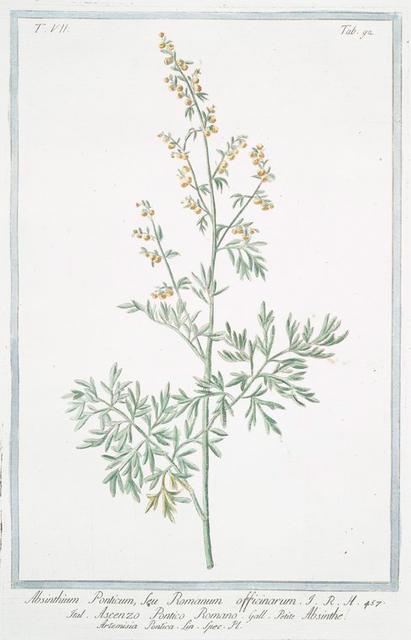 Absinthium Ponticum, seu Romanum officinarum = Ascenzo Pontico Romano =  Absinthe Artemisia Pontica Lin. Spec. Pl. [Roman wormwood]