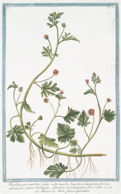 Abutilon procumbens, foliis subrotundis dissectis, et laciniatis, floribus phoeniceis, semine birostrato. Abutilon Carolinianum flore rubro = Mauve des Indes, fausse Guimmauve.