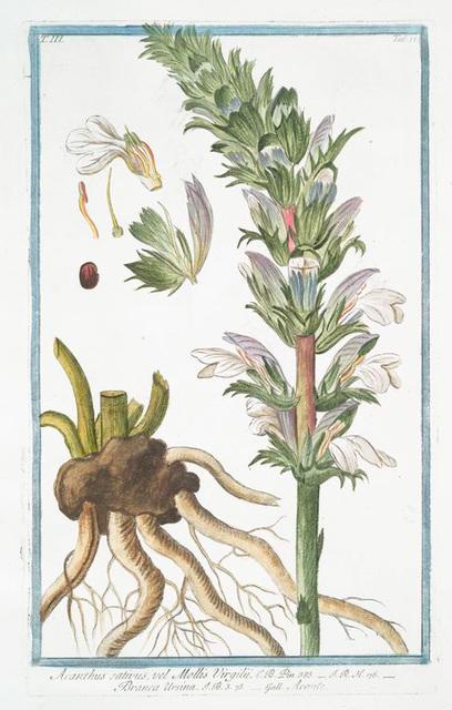 Acanthus sativus, vel Mollis Virgilii = Branca Ursina = Acante. [Bear's Breeches]