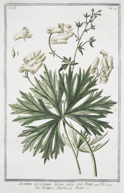 Aconitum Lycotonum, luteum, majus = Aconito, o Napello = Aconit. Yellow wolfsbane; Yellow wolfbane