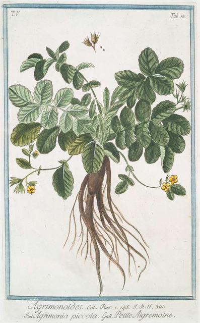 Agrimonoides = Agrimonia piccola = Petite Aigremoine. [Small Agrimony]