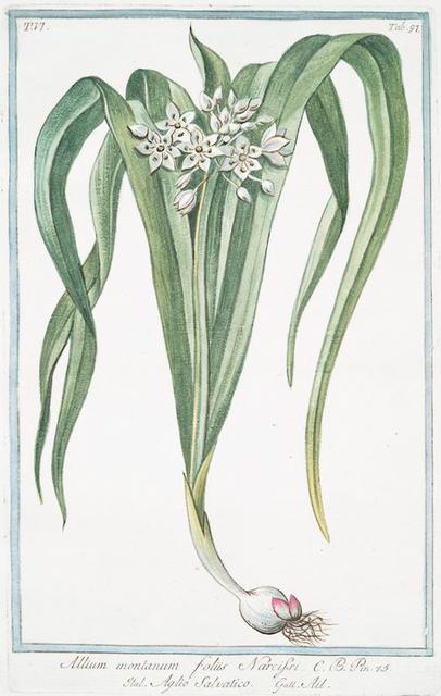 Allium montanum, foliis Narcissi = Aglio salvatico = Ail. [Mountain garlic]