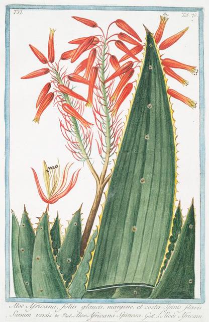 Aloe Africana, foliis glaucis, margine, et costa spinis flavis Sursum versis = Aloe Africana spinosa = L'aloés Africain. [Spiny Aloe]