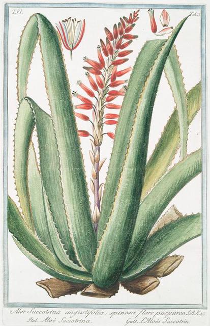 Aloe Succotrina angustifolia, spinosa, flore purpureo = Aloé Succotrina. [Fynbos aloe]
