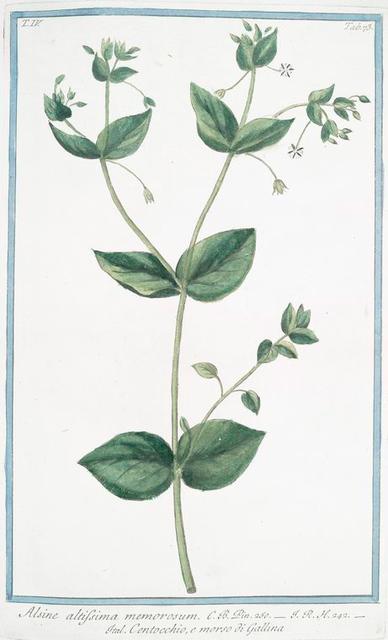 Alsine altissima memorosum = Centocchio, e morso di Gallina. [Common Chickweed]