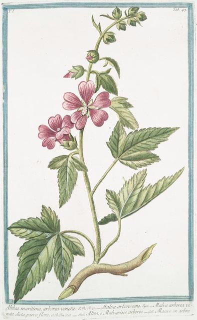 Althæa maritima, arborea veneta = Malva arborescens = Malva arborea veneta dicta, parvo flore = Altea, o Malvavisco arboreo = Mauve en arbre.