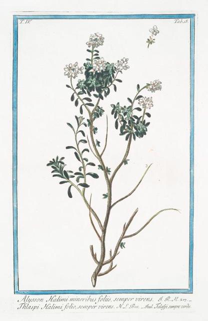 Alysson Halimi minoribus foliis, semper virens = Thlaspi Hamili folio, semper virens = Talaspi sempre verde