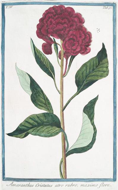 Amaranthus Cristatus atro rubro, maximo flore. [Amaranth with crested dark red flower]