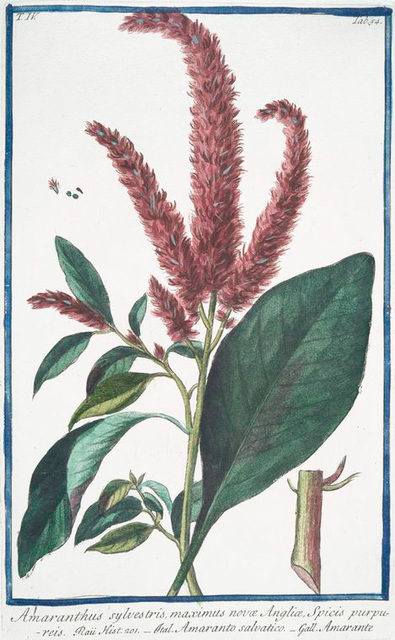 Amaranthus sylvestris, maximus novoe, Angliæ, Spicis purpureis = Amaranto salvatico = Amarante. [Wild Amaranth]