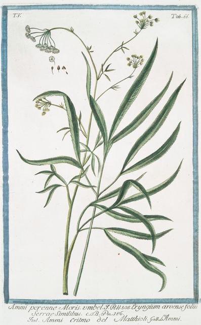 Ammi perenne Moris. Umbel = Eryngium arvense foliis Serrae Similibus = Ammi Critmo = Matthioli = L.Ammi.