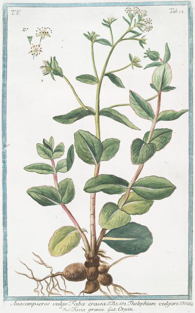 Anacampseros vulgo Faba crassci = Thelepium vulgare = Fava graisa = Orpin. [Ice plant, Love restorer]