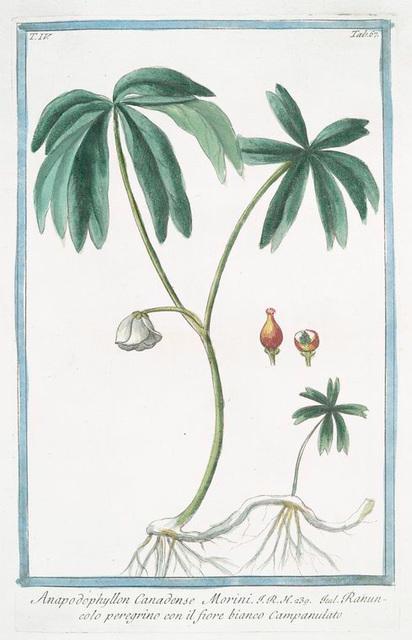 Anapodophyllon Canadense, Morini = Ranuncolo peregrino con il fiore bianco Campanulato. [Mayapple from Canada]