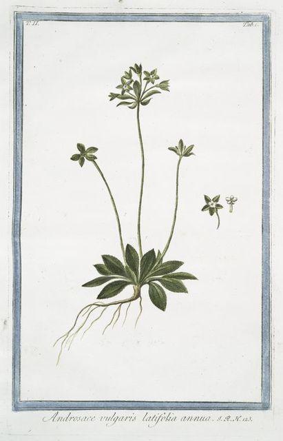 Androsace vulgaris latifolia annua.