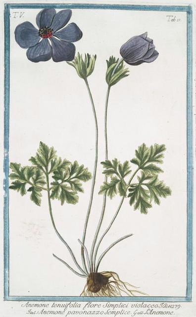 Anemone tenuifolia flore Simplici violacco = Anemone pavonazzo Semplice = L'Anemone. [Purple Anymone]