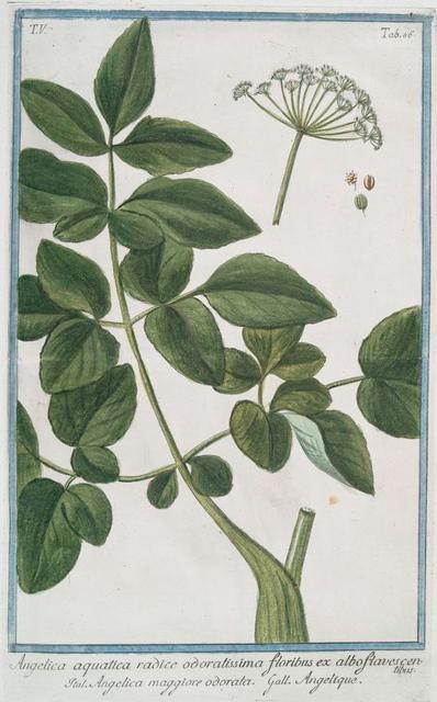Angelica aquatica radice odoratissima floribus ex albo flavescen = Angelica maggiore odorata = Angelique. [Wild Celery]