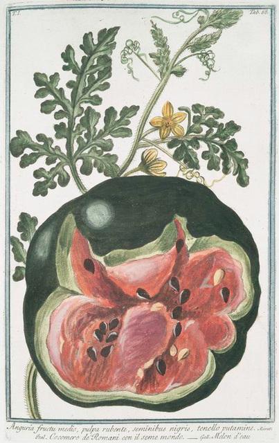 Anguria fructu medio, pulpa rubente, seminibus nigris, tenello putamine = Cocomero de Romani con il seme mondo = Melon d'eau. [Watermelon]