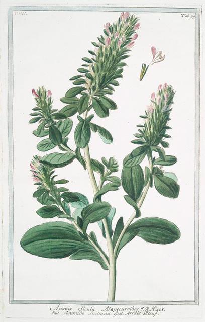 Anonis sicula, Alapecuroides = Anonide Siciliana. [Ononis alopecuroides, Sicilian Restharrow]