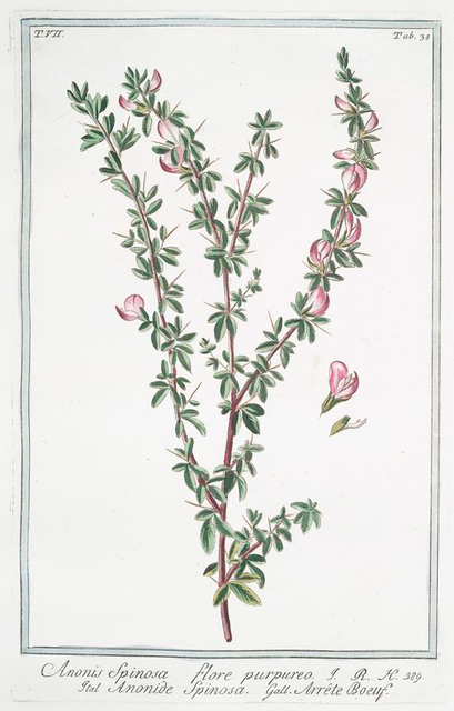 Anonis spinosa, flore purpureo = Anonide spinosa = Arrête Boeuf. [Ononis, Spiny restharrow]