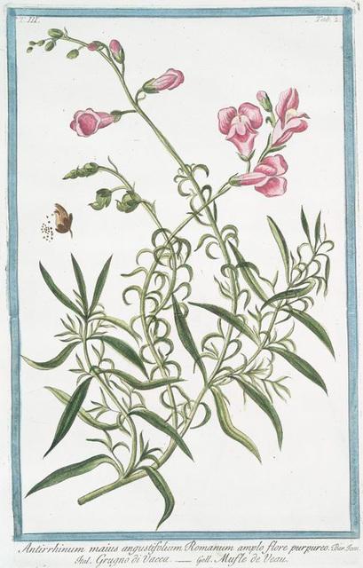 Antirrhinum maius angustifolium Romanum amplo flore purpureo = Grugno di Vacca = Musle de Veau. [Pink snapdragon]