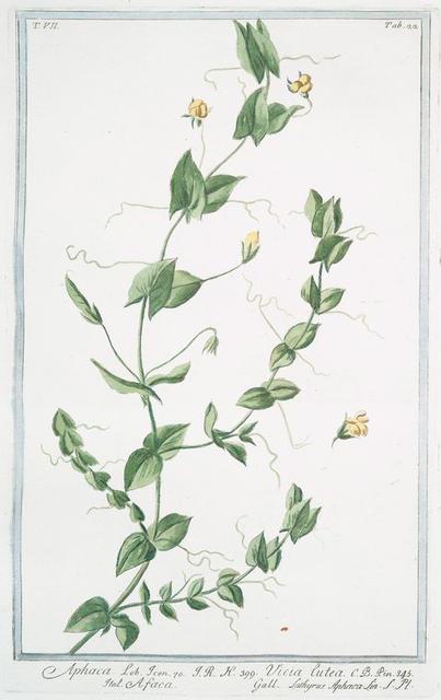 Aphaca = Viccia lutea = Afaca = Lathyrus Aphaca.[yellow peavine; yellow-flowered pea]