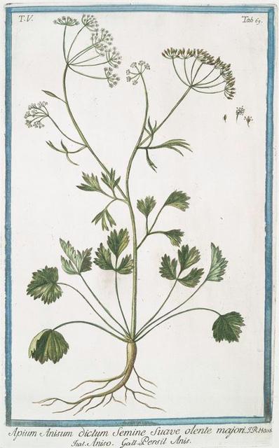Apium Anisum dictum Semine suave olente majori = Aniso = Persil Anis. [Anise]