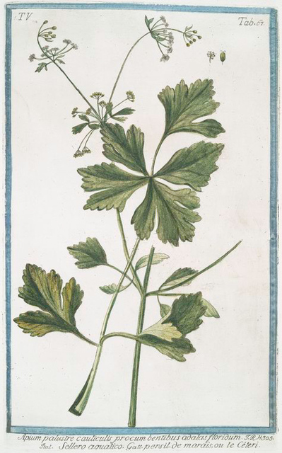 Apium palustre cauliculis procum bentibus adalas floridum = Sellero aquatico = Persil de marais, ou le Céléri. [Marsh-parsley, Milk parsley, Marsh-milkweed]