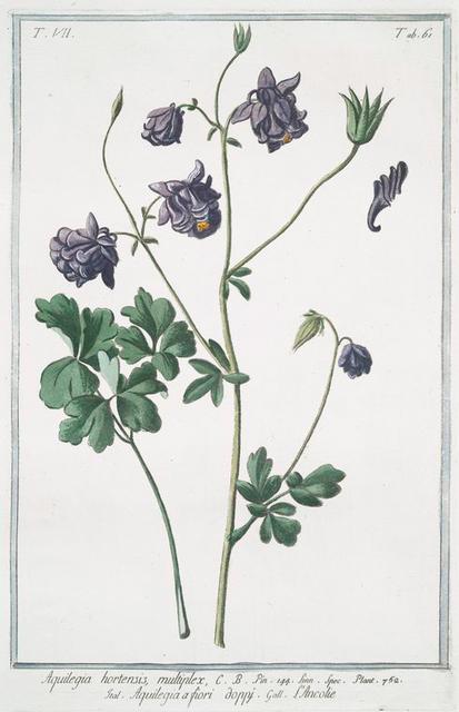 Aquilegia hortensis, multiplex = Aquilegia a fiori doppy = L'Ancolie. [Columbine]