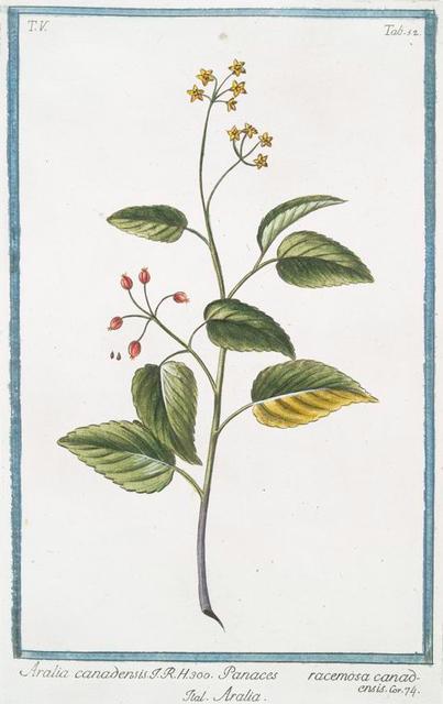 Aralia canadensis = Panaces racemosa canad = Aralia. [American spikenard; Petty morel; Life-of-man]