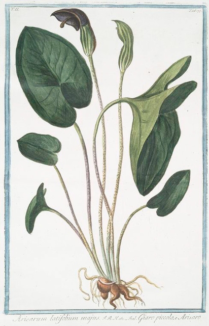 Arisarum latifolium majus = Giaro piccolo, e Arisaro.