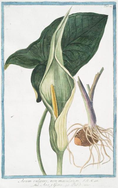 Arum vulgare, non maculatum = Aro, e Giaro = Pied de Veau. [Cukoo -Pint, Starchwort, Adder's Root, Bobbins, Friar's Cowl, Kings and Queens, Parson and Clerk, Ramp, Quaker, Wake Robin]