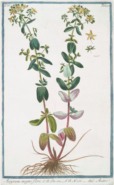 Ascyrum magno flore = Asciro. [St. Peter's-Wort ]