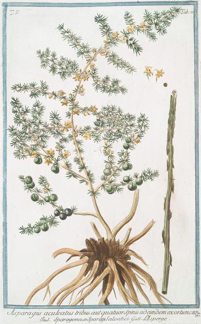 Asperagus aculeatus tribus, aut quatuor spinis ad  edeundem exortum = Sparagpma. o Sparagie Salvatici = L'Asperge. [Wild Asperagus]